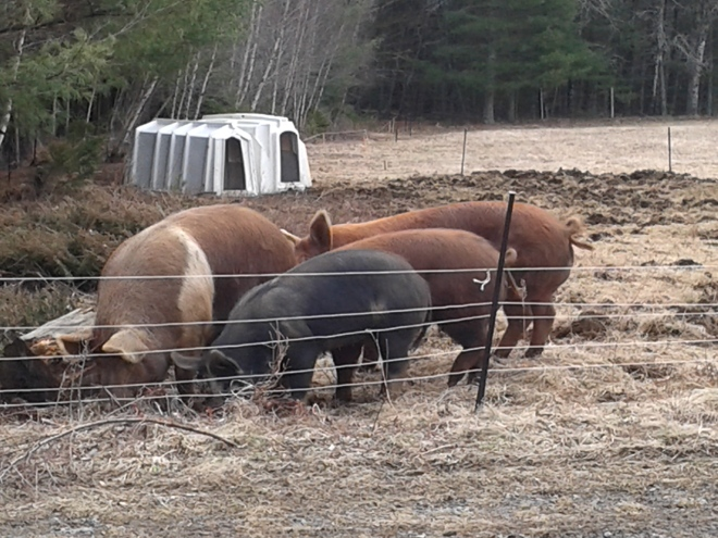 Our heritage breed pigs live outside year 'round au natural - rooting and turning land for us and for them.