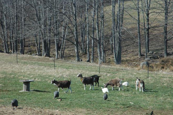 Toggenburg goats enjoy early Spring grass alongside the Guinea fowl and chickens