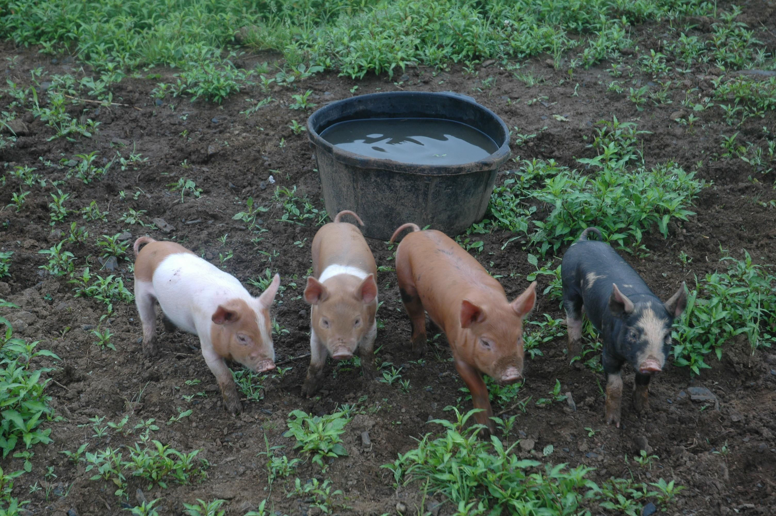 pig castration u2013 sweetwood farm